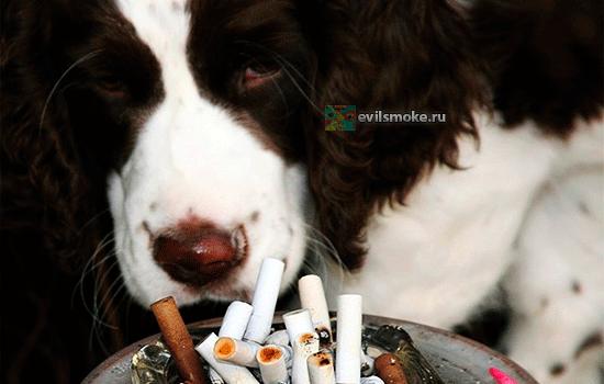 foto-kurenie-i-zhivotnyie-nikotinovoe-otravlenie