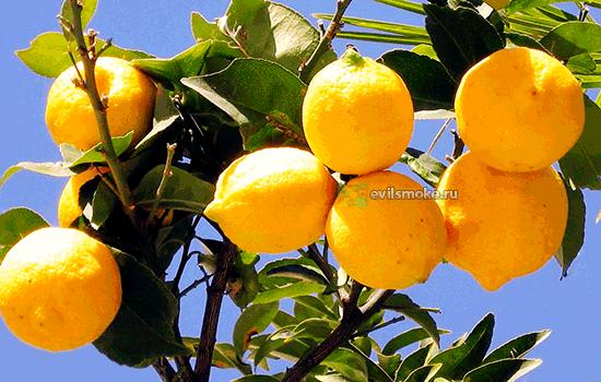 Фото - Лимоны на дереве